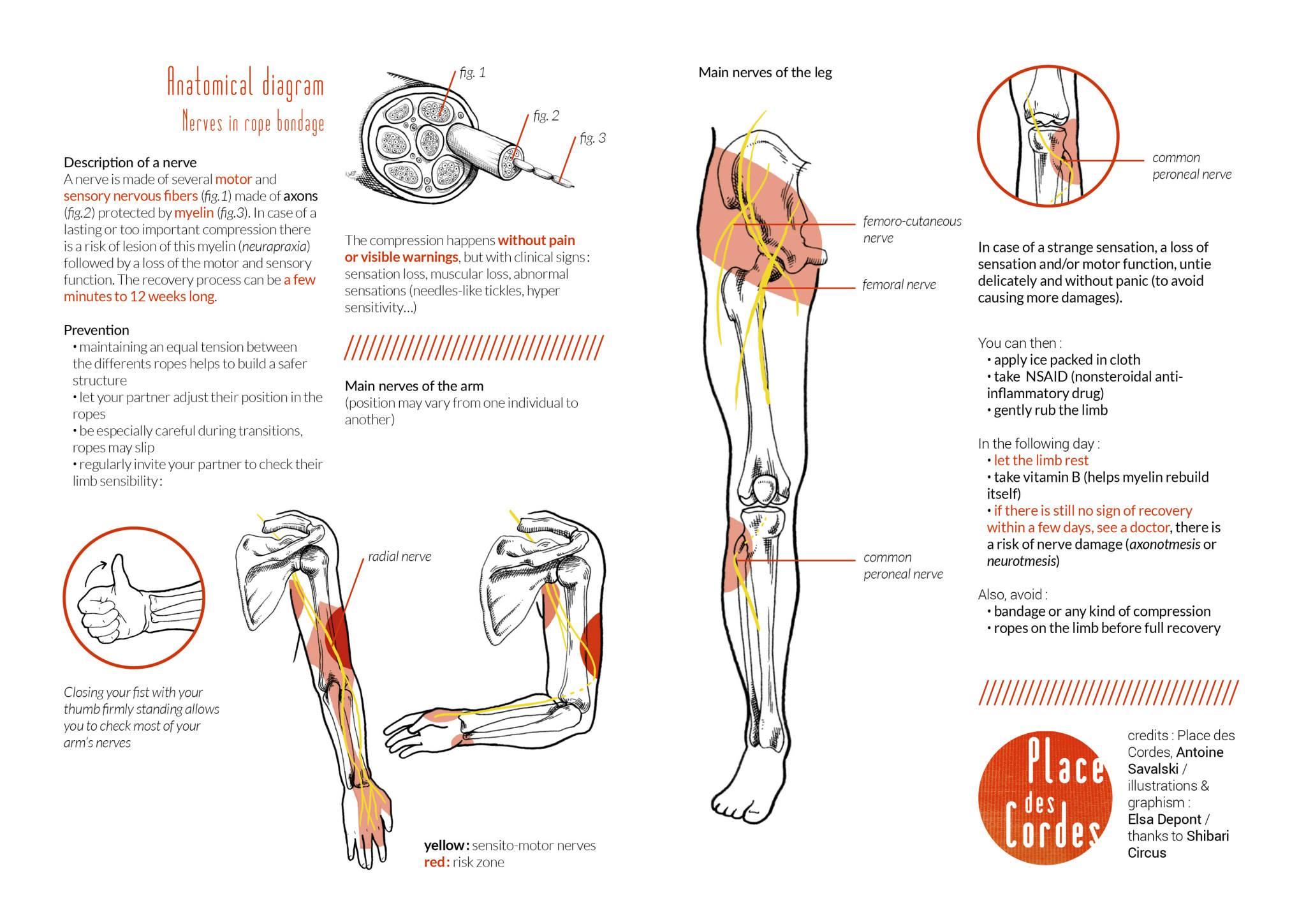 Anatomy Flyer Place des Cordes englisch